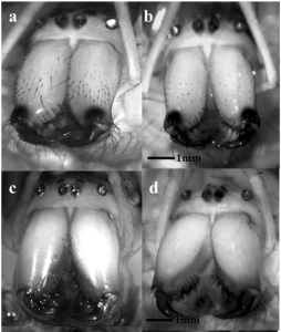 Before and after: the top row shows male and female Leucauge mariana spiders au naturel; the bottom row shows them after the researchers applied their razors to their faces.